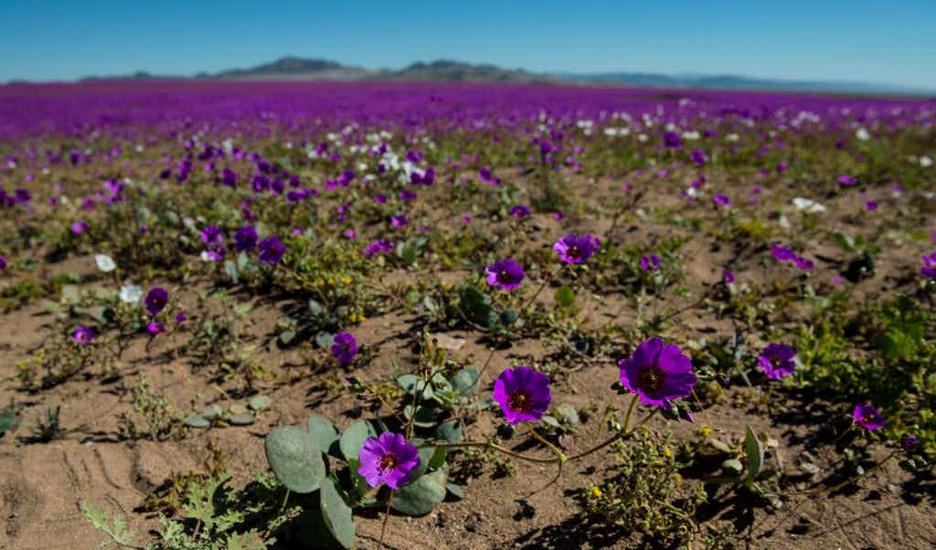 The driest desert in the world is awash with glorious colourful blooms