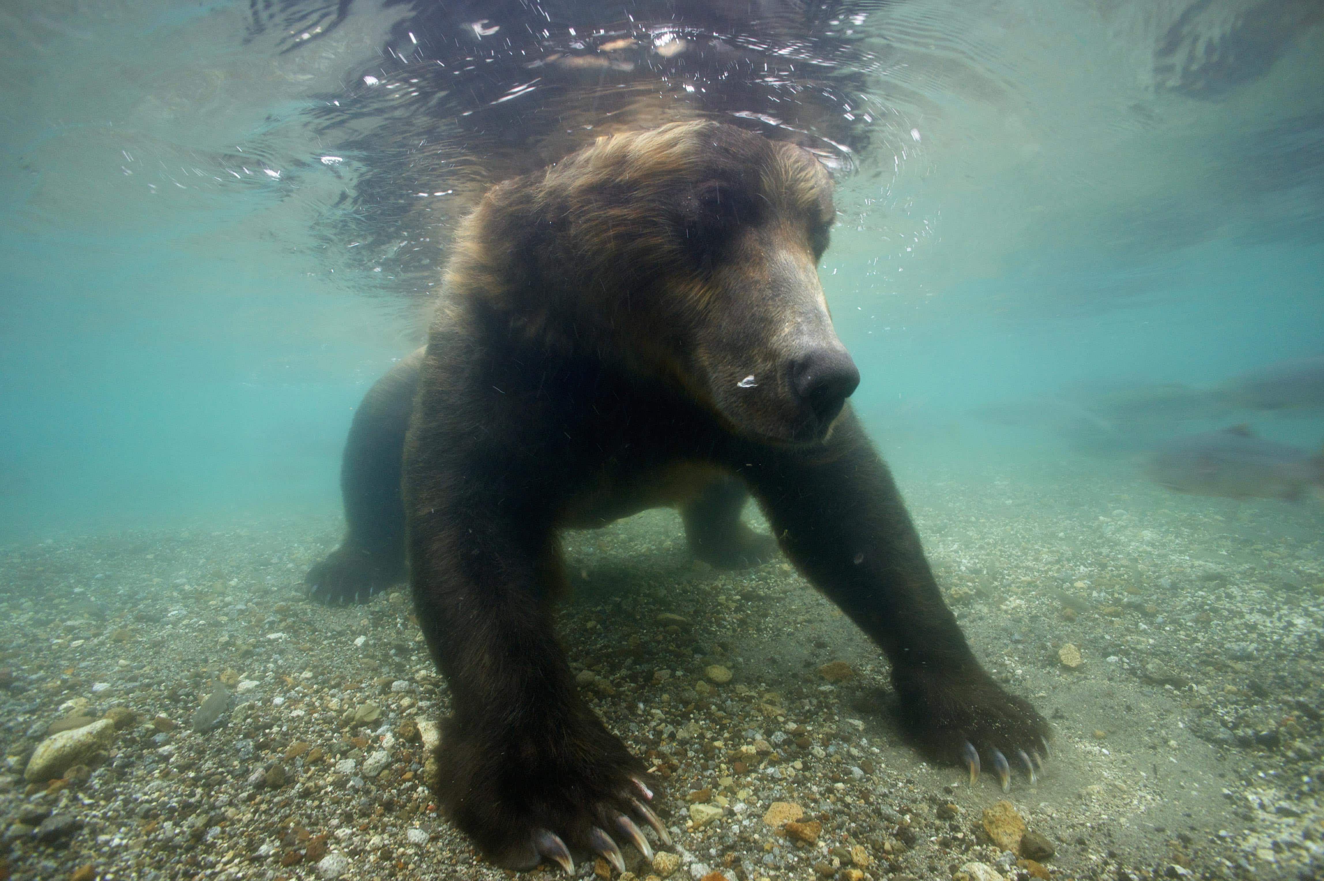 Watch a huge Kamchatka brown bear hunting for salmon underwater in a Russian river