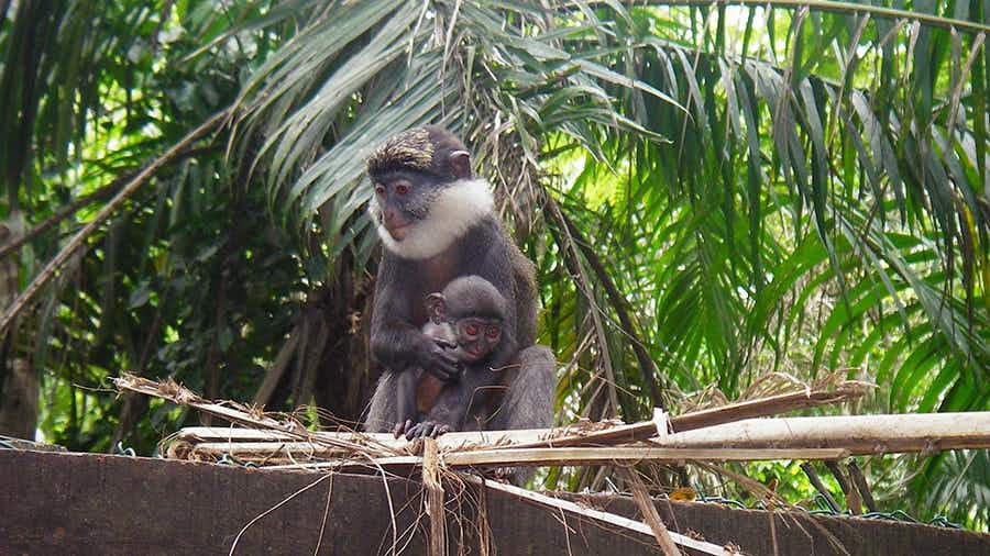 A rejuvenated African forest has become an important refuge for very rare monkeys