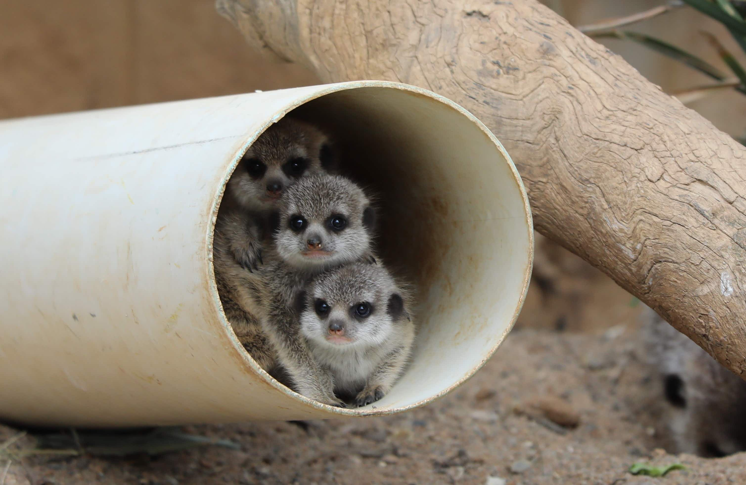 Canberra Zoo's meerkat pups know how to play to the cameras on their first public outing