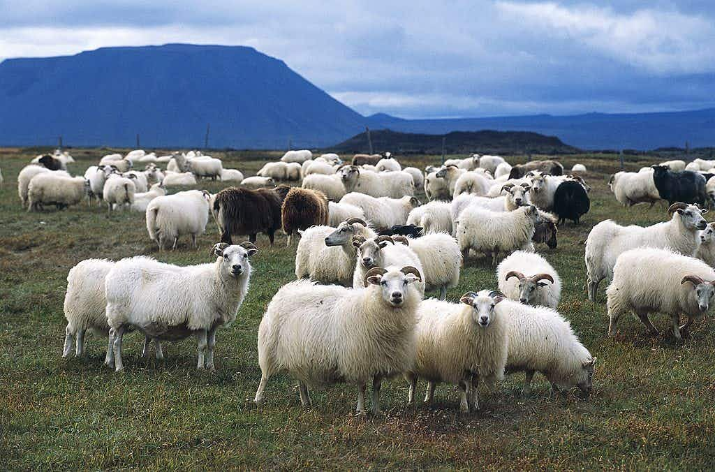 You can now take a horseback tour of the annual Icelandic highland sheep round-up