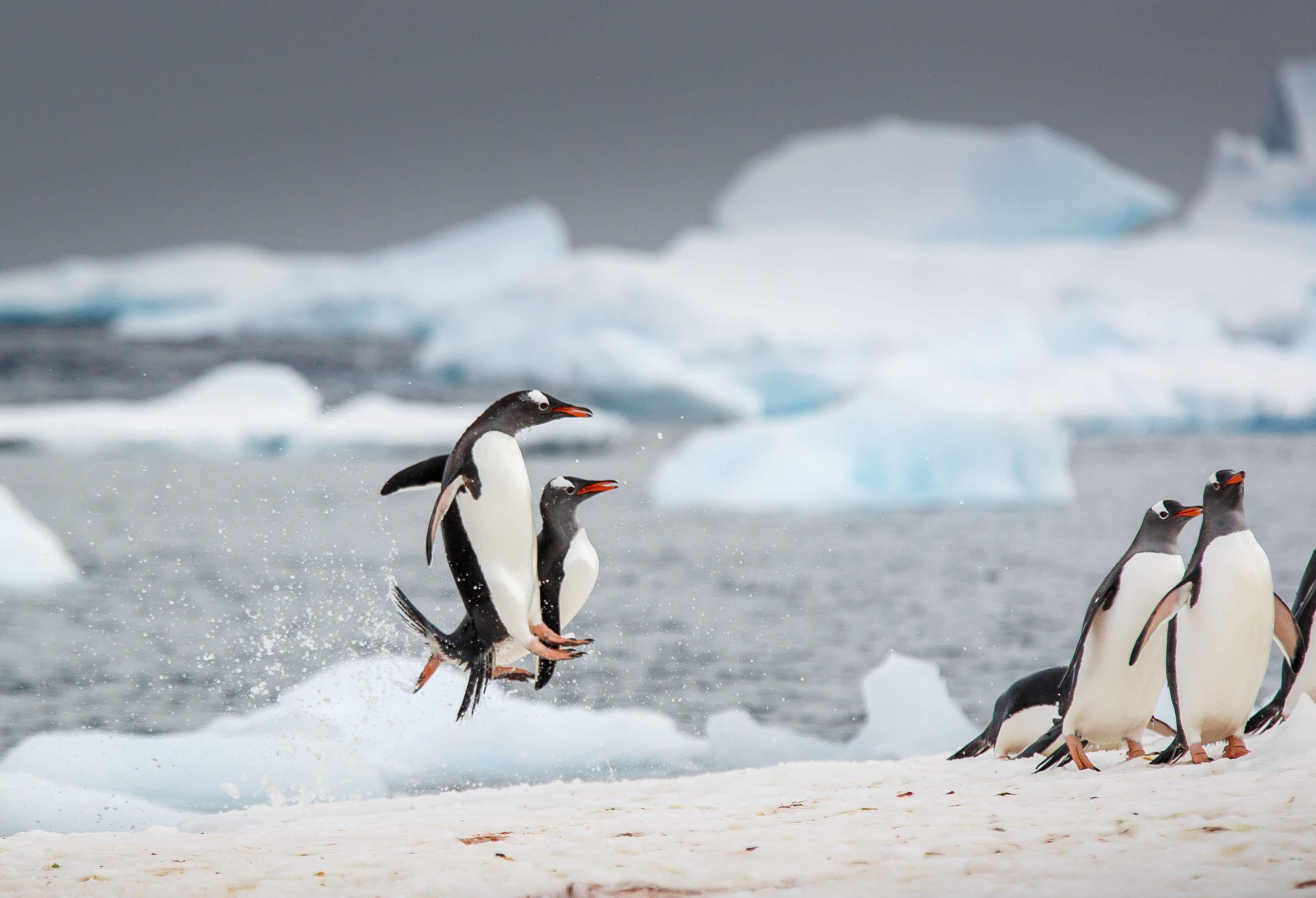 Antarctica's Gentoo penguins caught doing real life Happy Feet