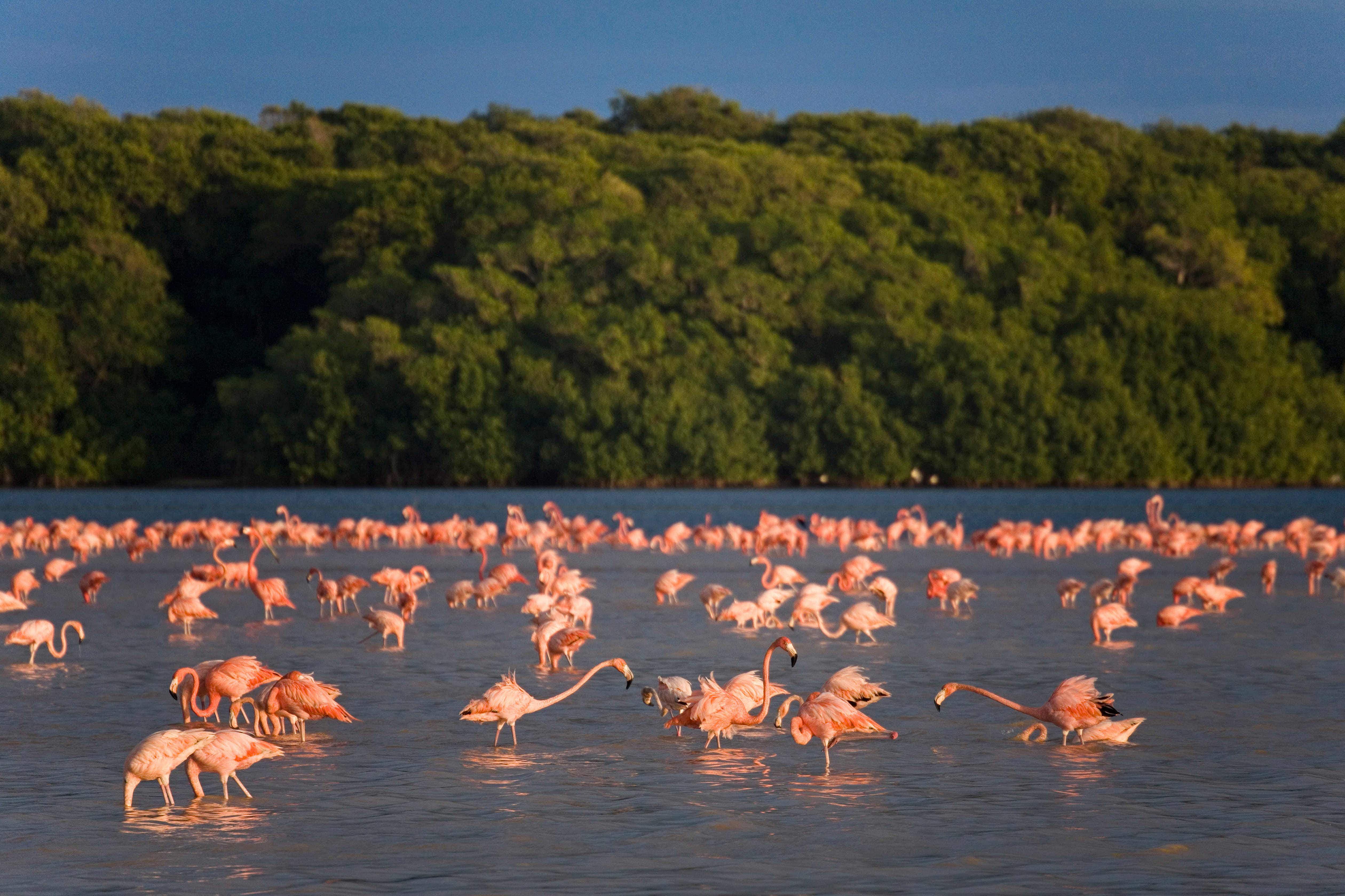 A flamboyance of flamingos returns to Progreso, Mexico