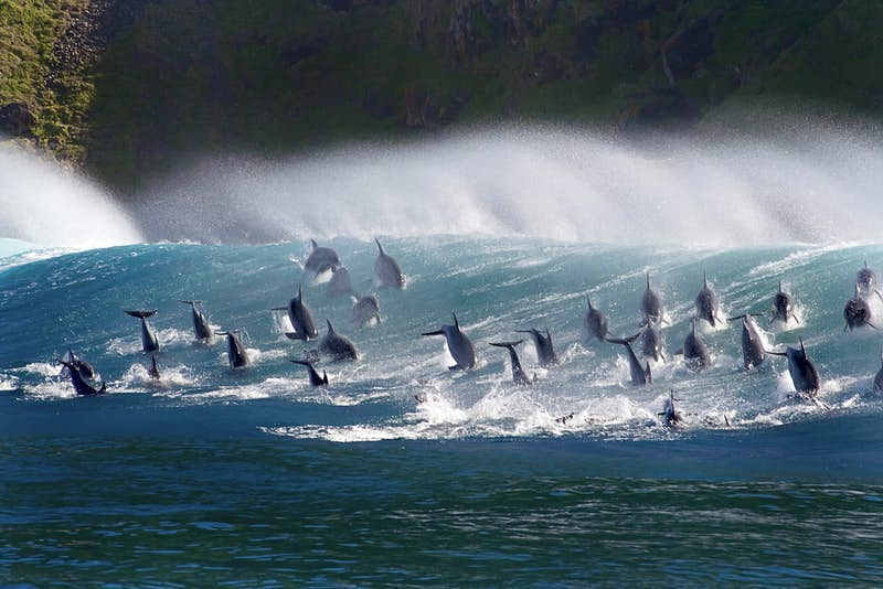 Surfing bottlenose dolphins, in South Africa as seen on Blue Planet II.