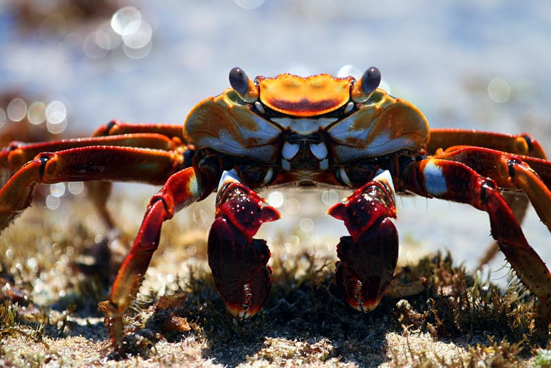 A Sally Lightfoot crab, the favourite food of moray eels and octopuses. Image by BBC/Miles Barton