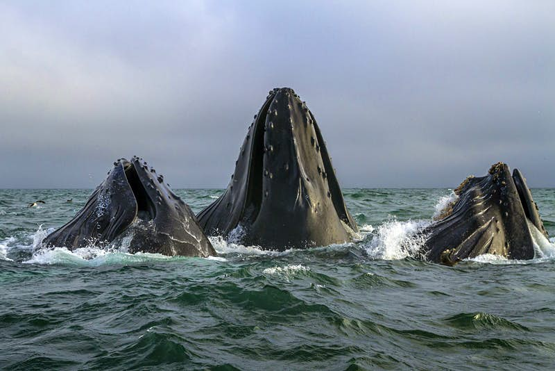 Humpback whales, feeding communally off the coast of Monterey. Image by BBC/Joe Platko