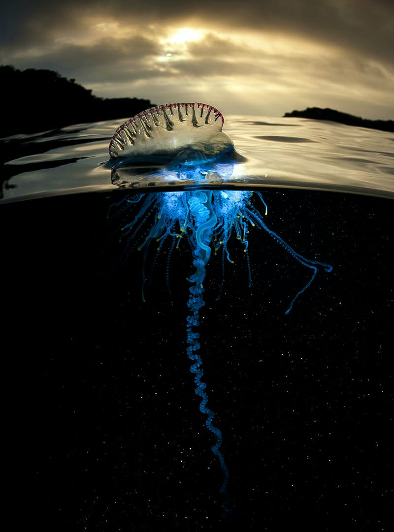 Portuguese man-of-war (Physalia physalis) at dawn. The venomous Portuguese man-of-war is not a jellyfish but a siphonophore, a colonial animal made up of specialised individuals working together. It is also known as 'floating terror' as it sails with the wind, trailing tentacles that can deliver a vicious sting - painful to humans but paralysing for fish. Image by BBC/Matty Smith