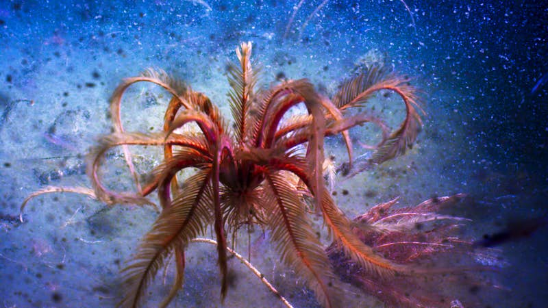 A feather star (Promachocrinus sp.) dances in the deep waters of the Antarctic Sound. These invertebrates attach themselves to the seabed or to another benthic invertebrate, such as a sponge. They use their long arms to filter particles from the water column. But they can also lift off the seafloor and swim, with the grace of a ballerina, to a new anchorage. Image by BBC