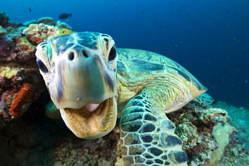 A green turtle (Chelonia mydas) in Sipadan, Borneo, Malaysia. Endangered Green Turtles come to feed in the tropical waters off the island of Sipadan. As an adult, the green turtle is the only strict herbivore of all the sea turtles. It has fine serration along its jaw to help it tear algae and sea grass to eat. Image by BBC/Jason Isley
