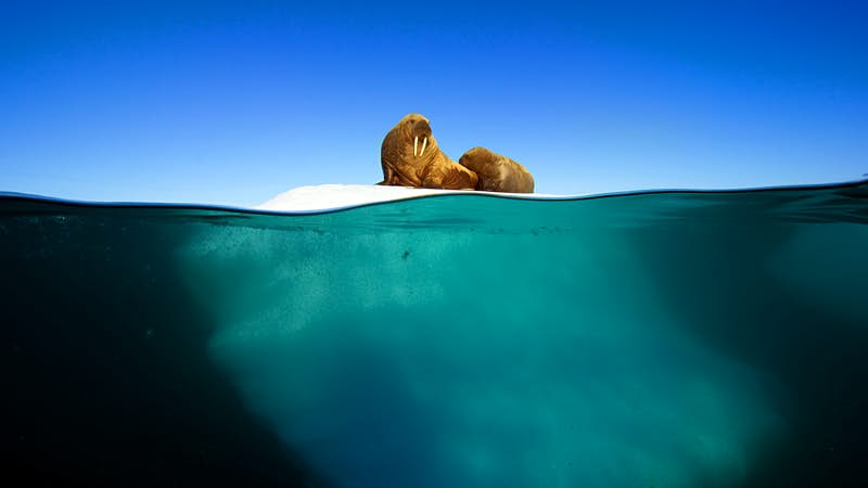 A walrus mother and calf resting on an iceberg in Svalbard, Arctic. The bond between mother and calf is very strong, reinforced by vocal communication and their strong sense of smell. Image by BBC