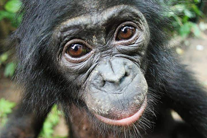 Is this the world's friendliest animal? Bonobo apes will help strangers without being asked