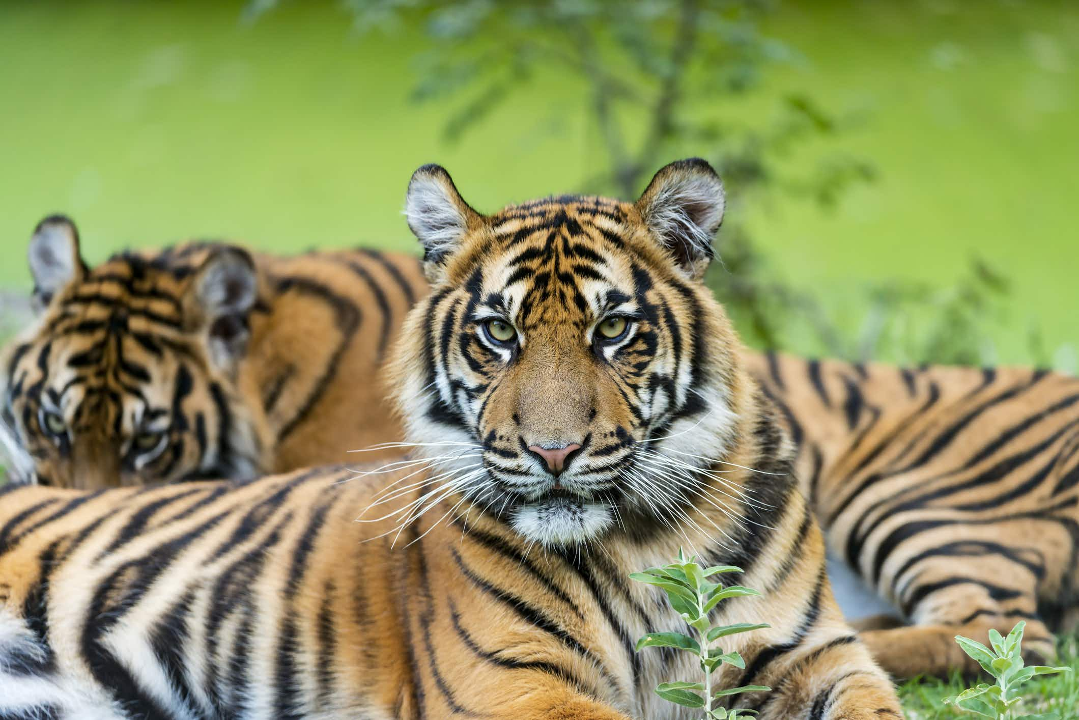 The Sumatran tiger population is growing in one of its most important habitats