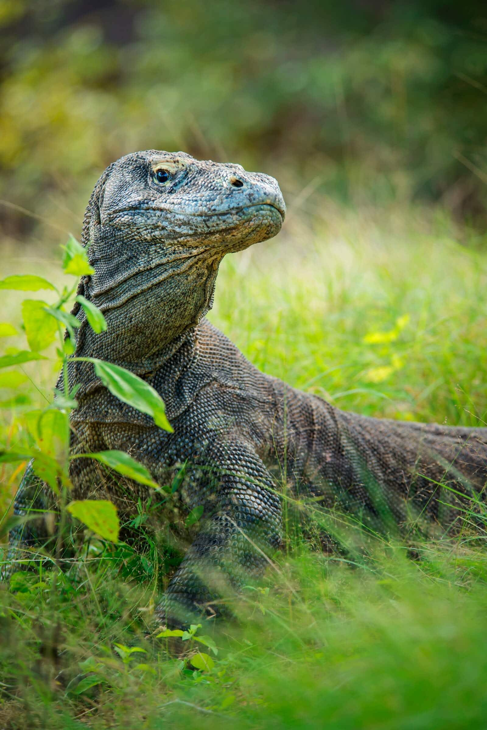 Calls for protection of Indonesia's Komodo dragons as tourists flock to the islands