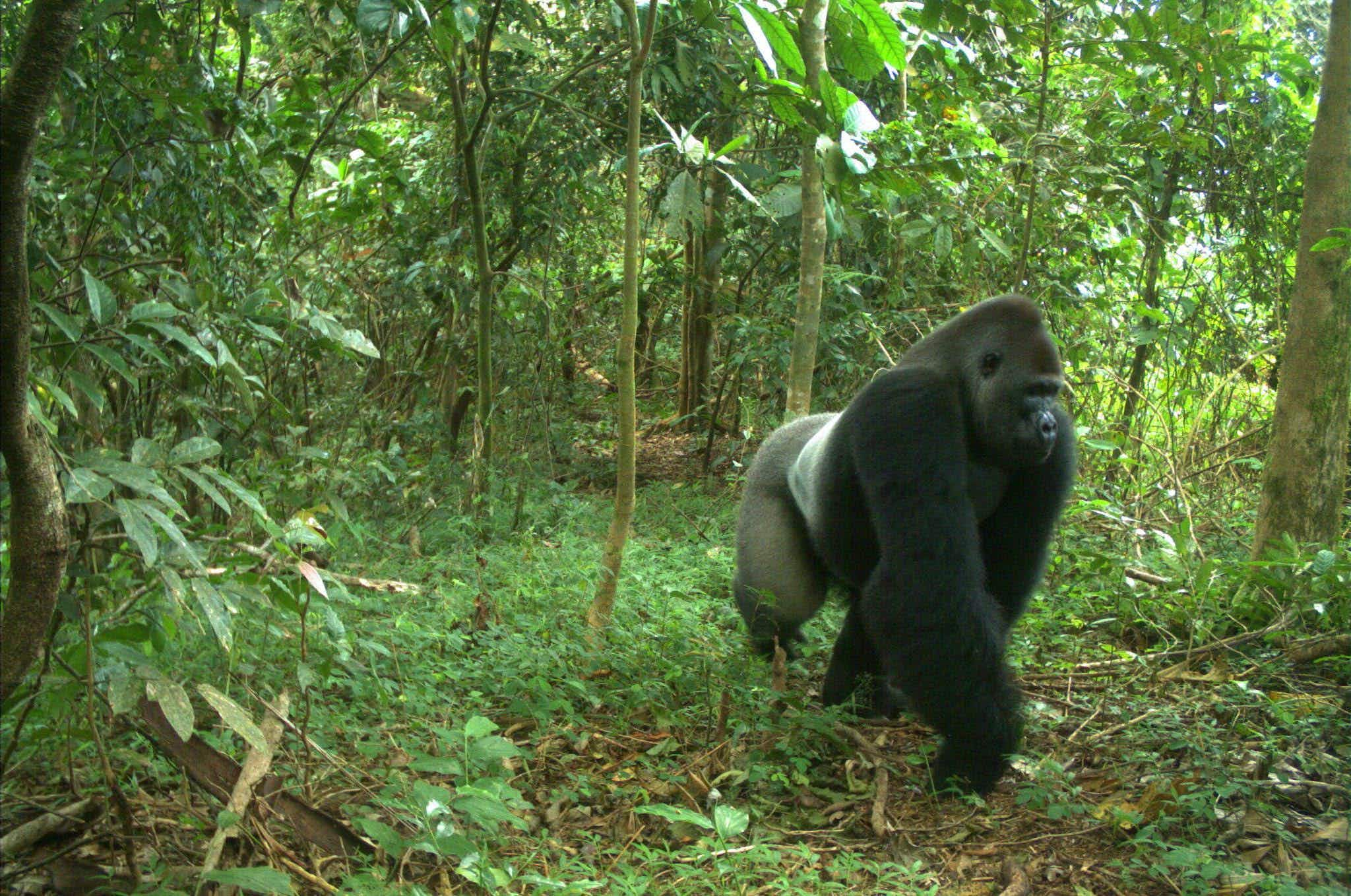 The world's rarest gorilla is seeking a mate to start a family