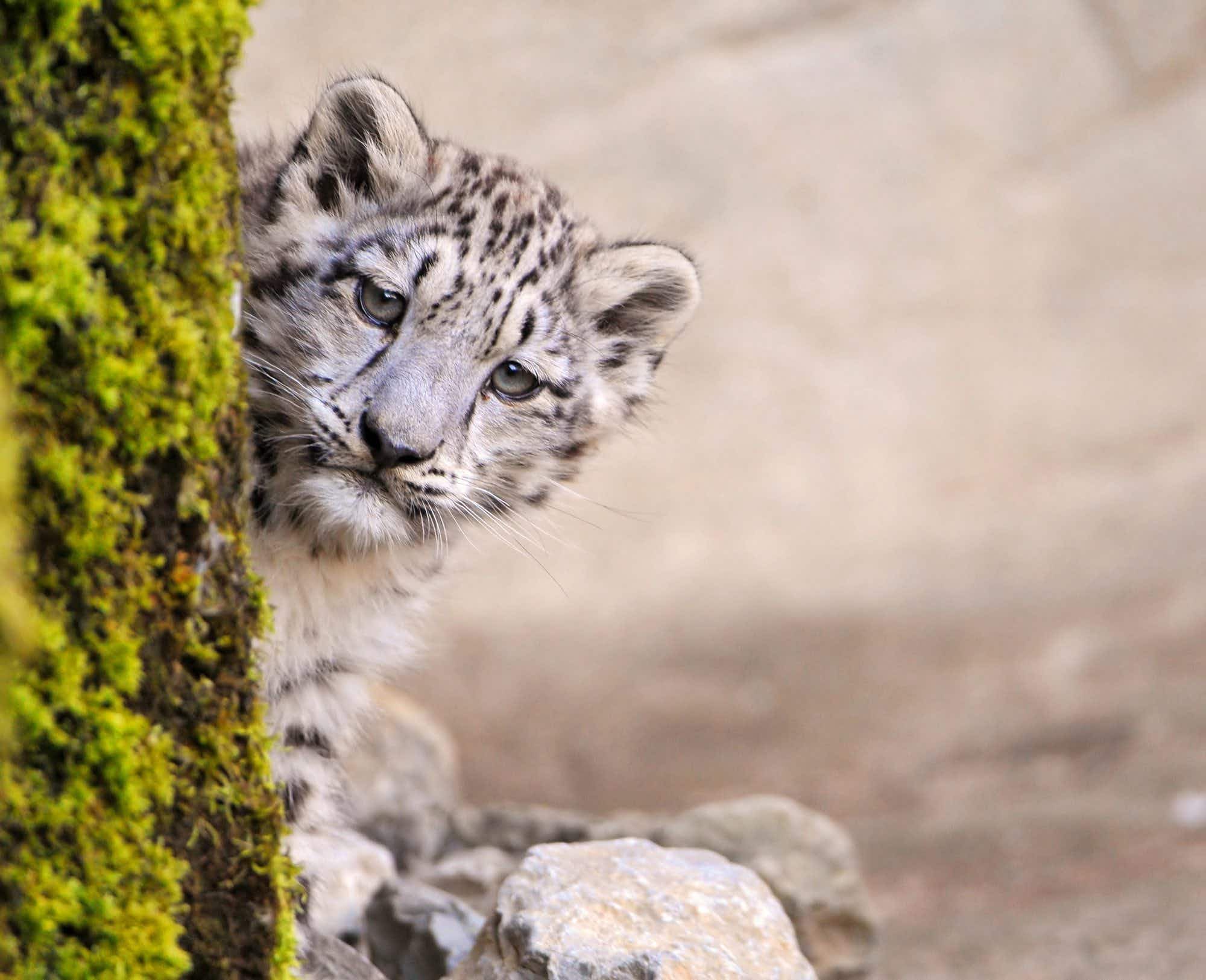 Status of snow leopards moves from endangered to vulnerable in Bhutan