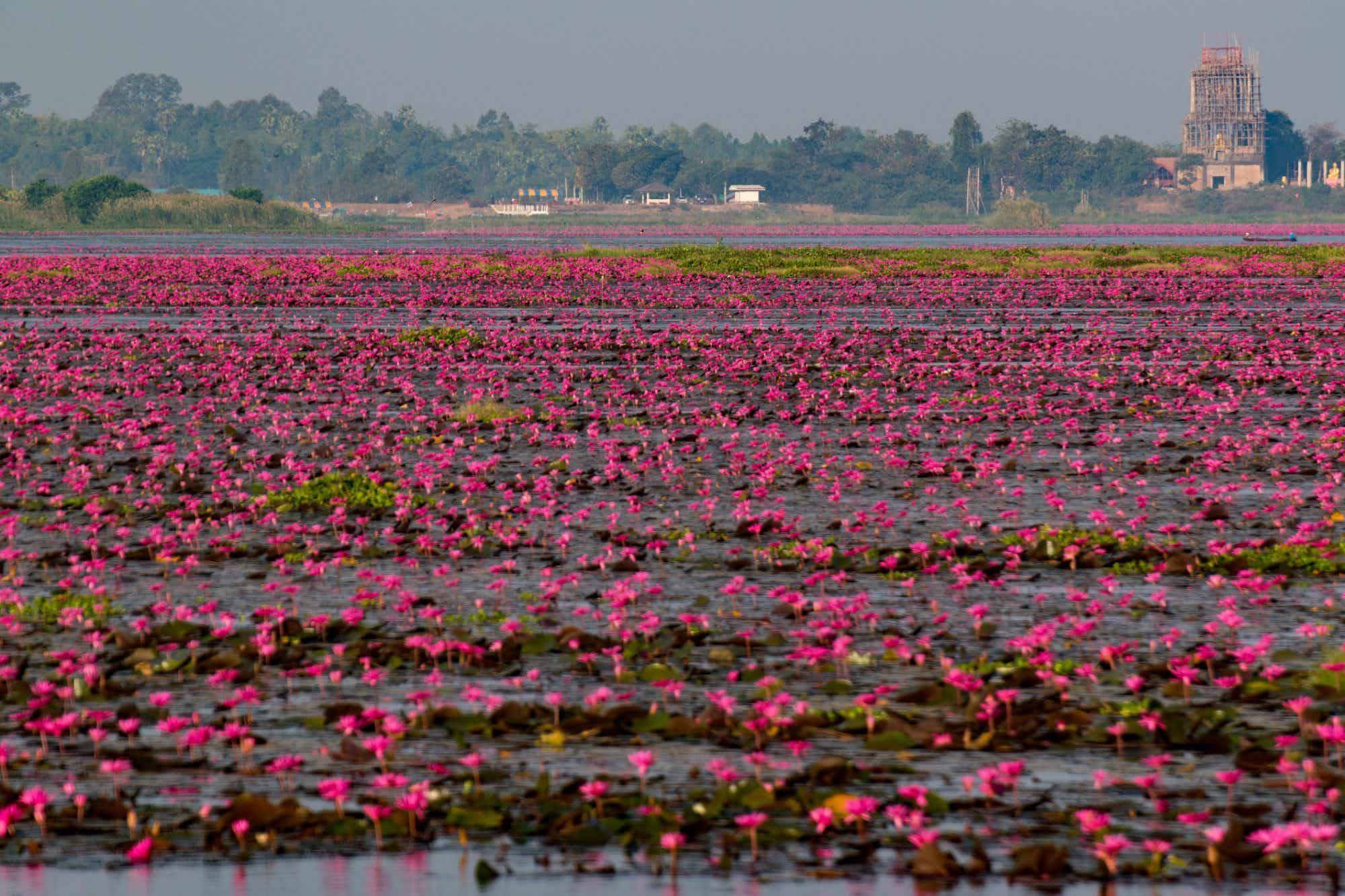 Instagram-worthy 'sea of red lotuses' in full bloom in Thailand