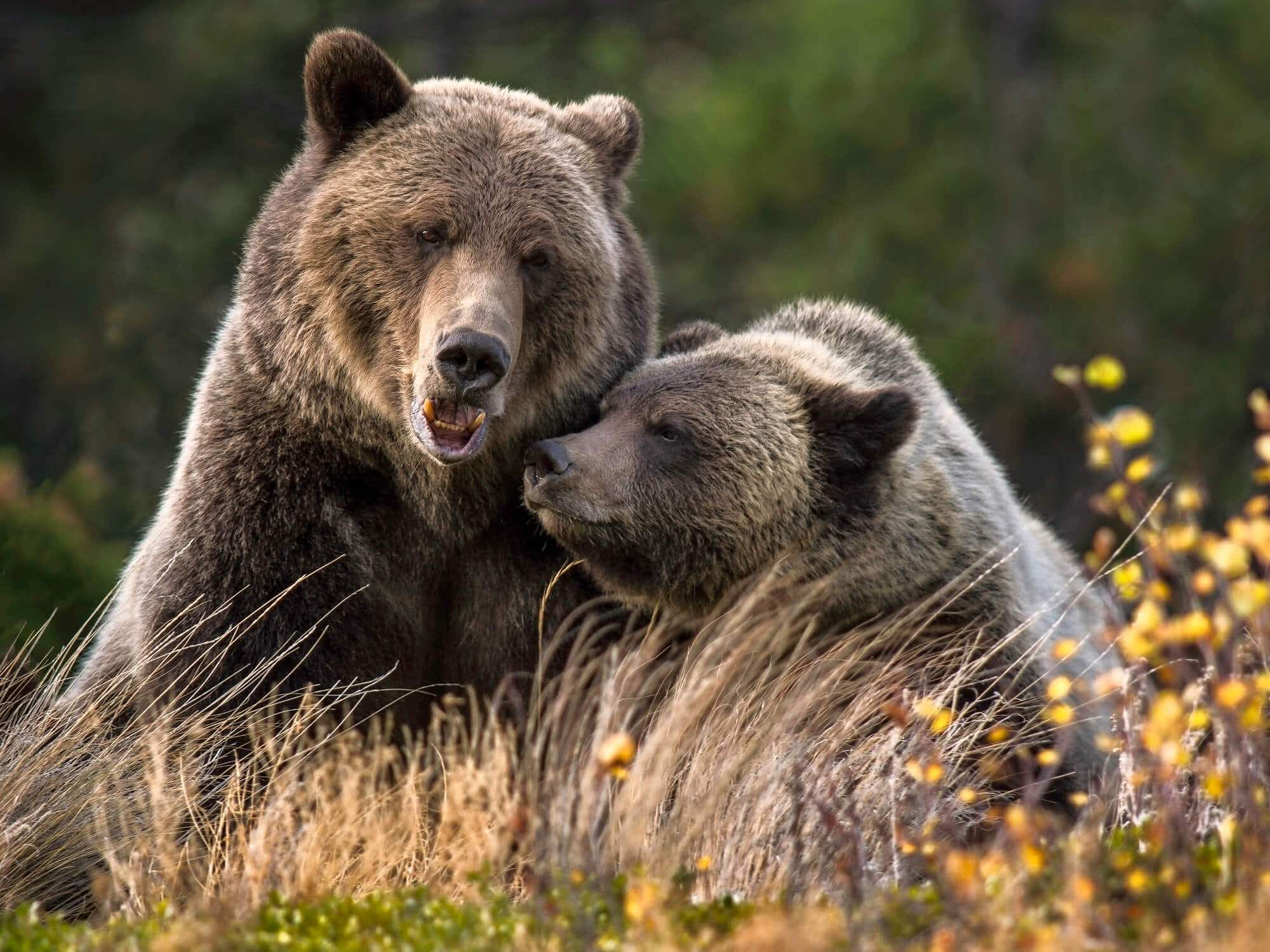 Grizzly bear watching set for a boost in British Columbia