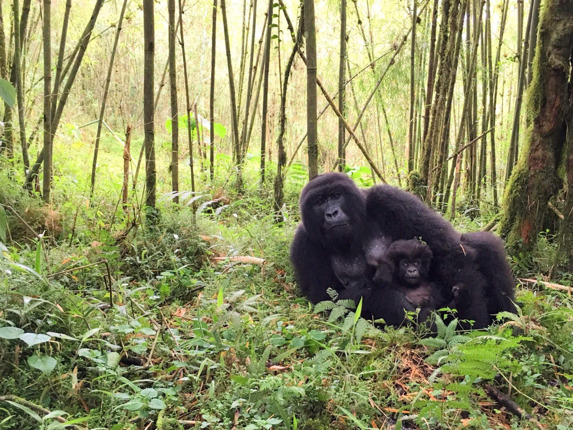 Gorilla habitat expanded in Rwanda's famed Volcanoes National Park