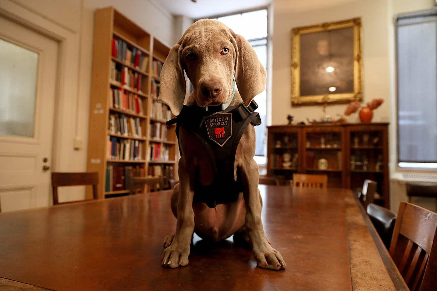 This adorable puppy has a very important job at Boston's Museum of Fine Arts