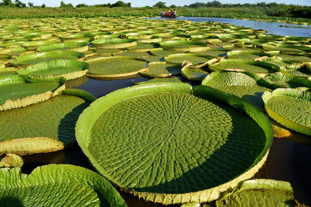 Giant water lilies turn this spot in Paraguay into a stunning sea of green