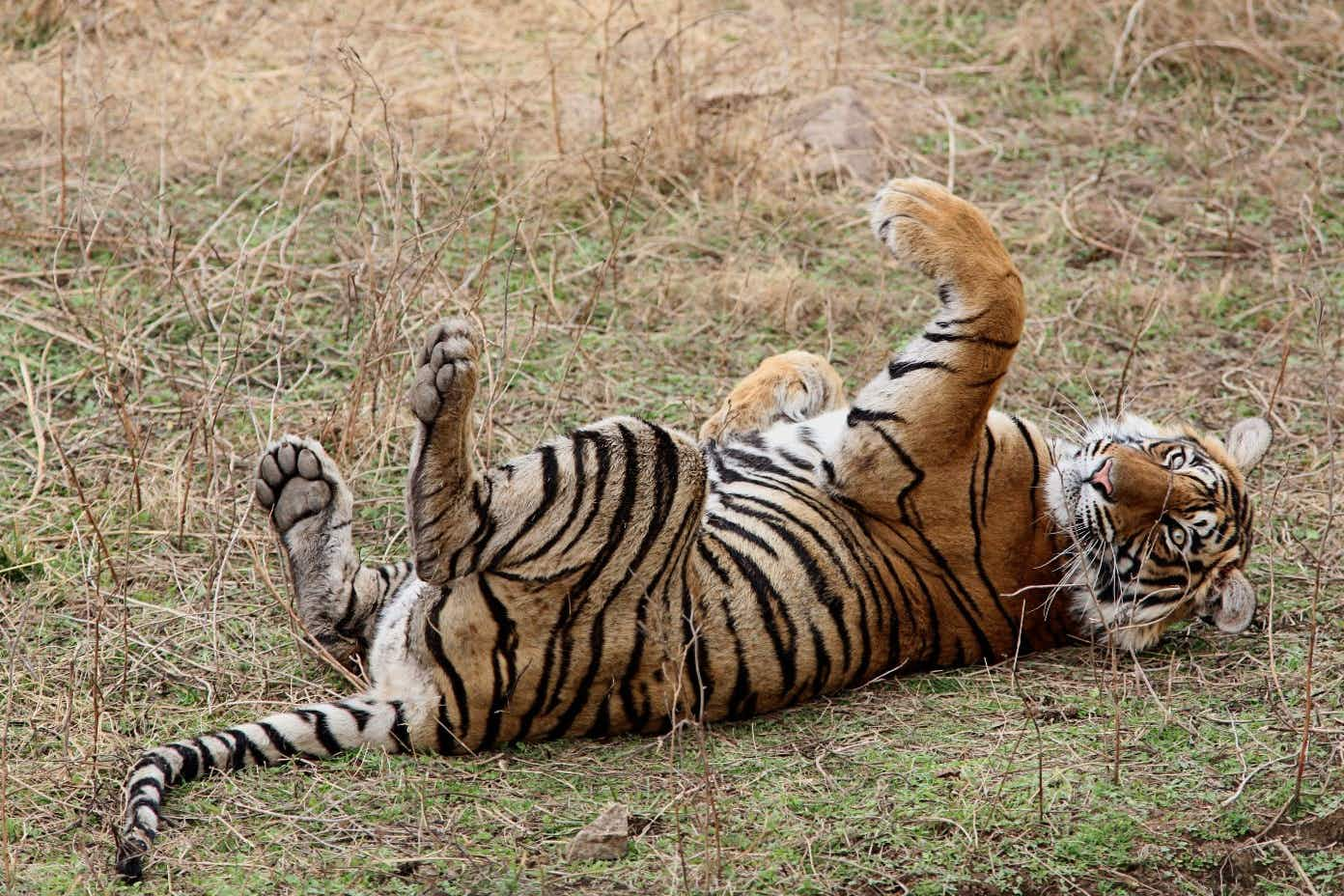 Ranthambhore National Park has been declared the 'tiger nursery of India'