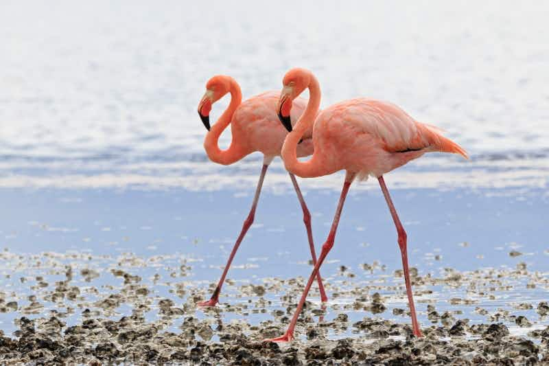 Chief Flamingo Officer wanted for a resort in the Bahamas