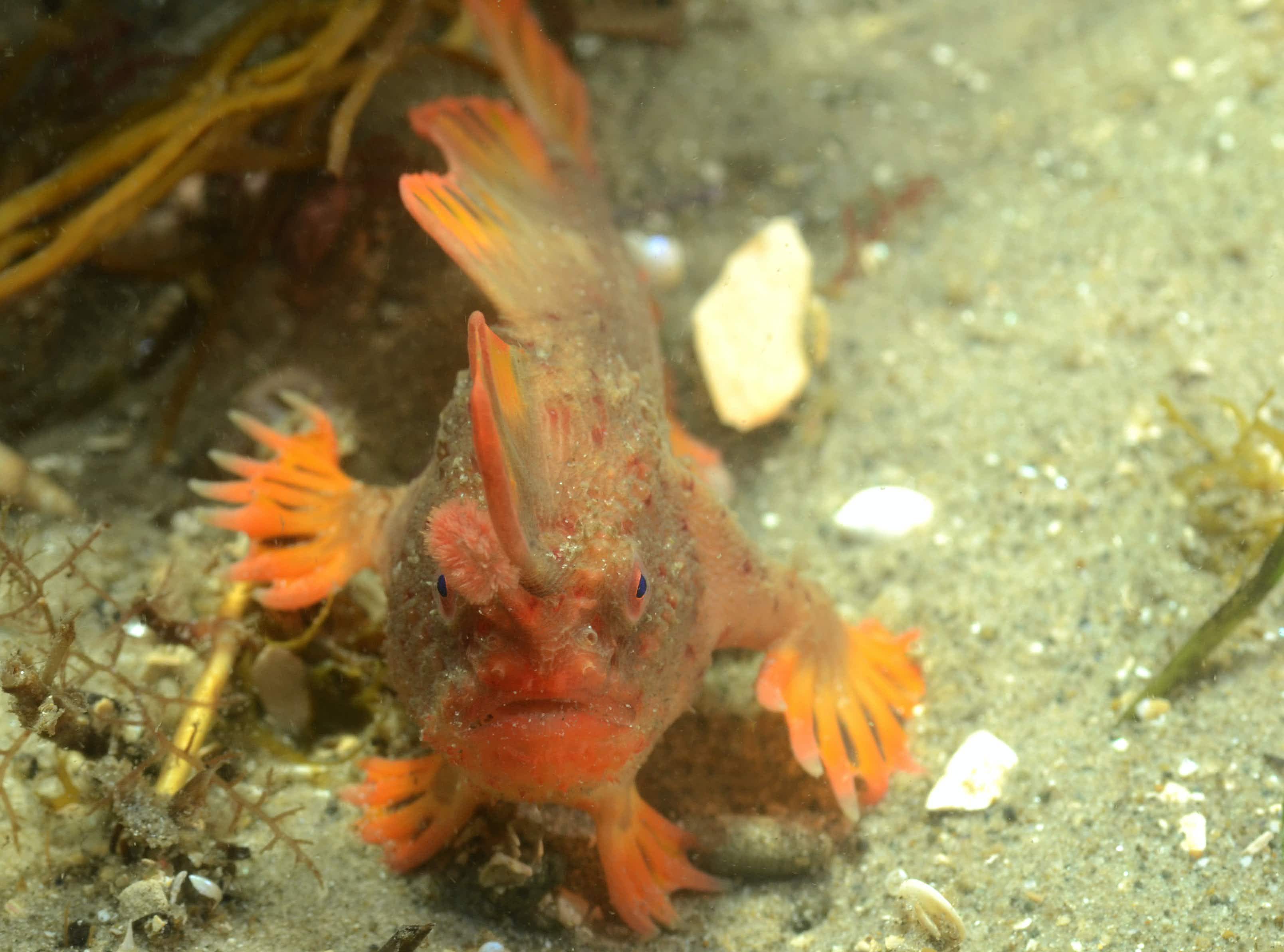 World's rarest 'fish with hands' captured on camera crawling along the seabed in Tasmania