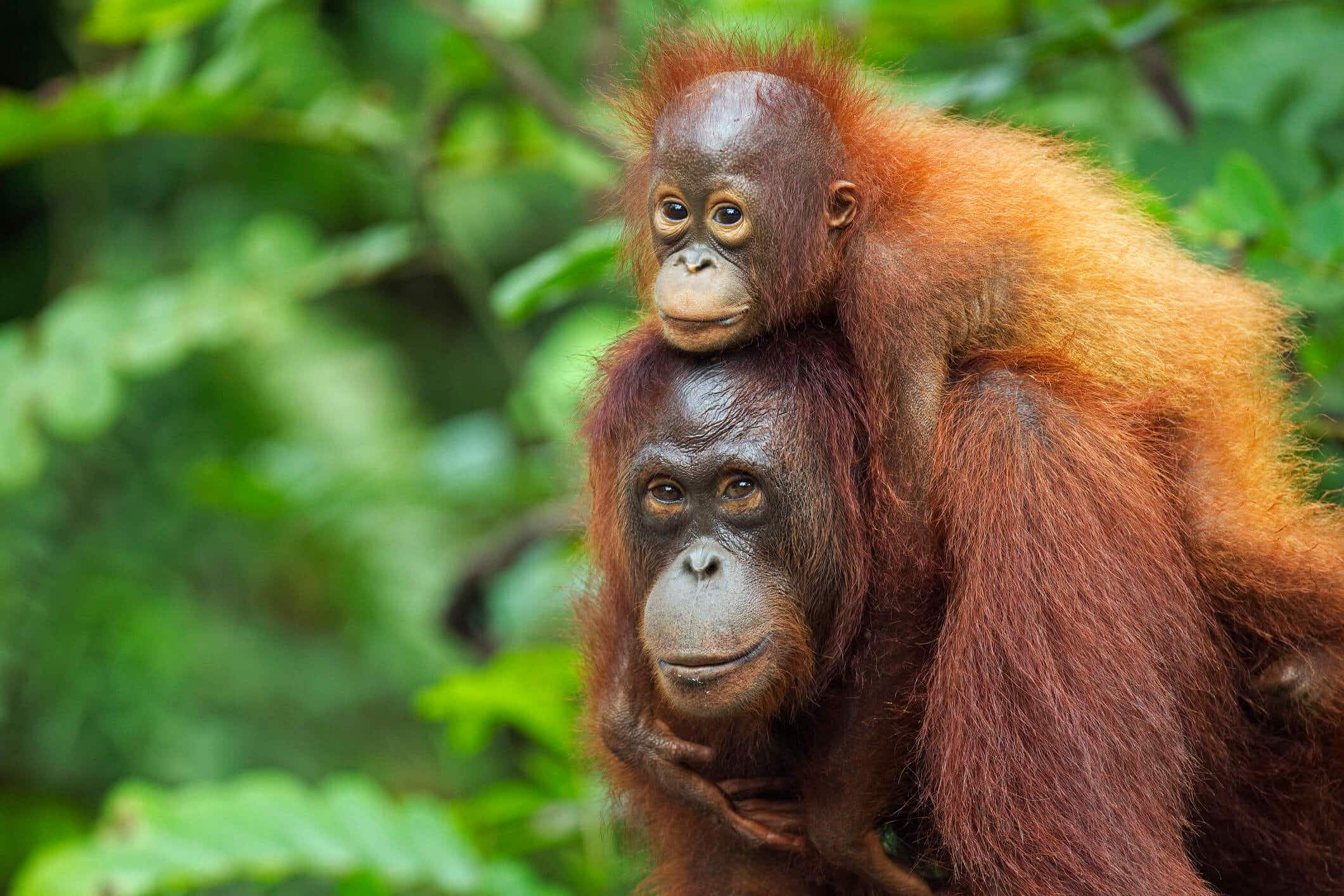 Experience close encounters of the wild kind on this epic tour of Borneo
