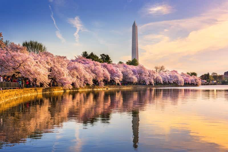 This is when to see the cherry blossoms in Washington DC