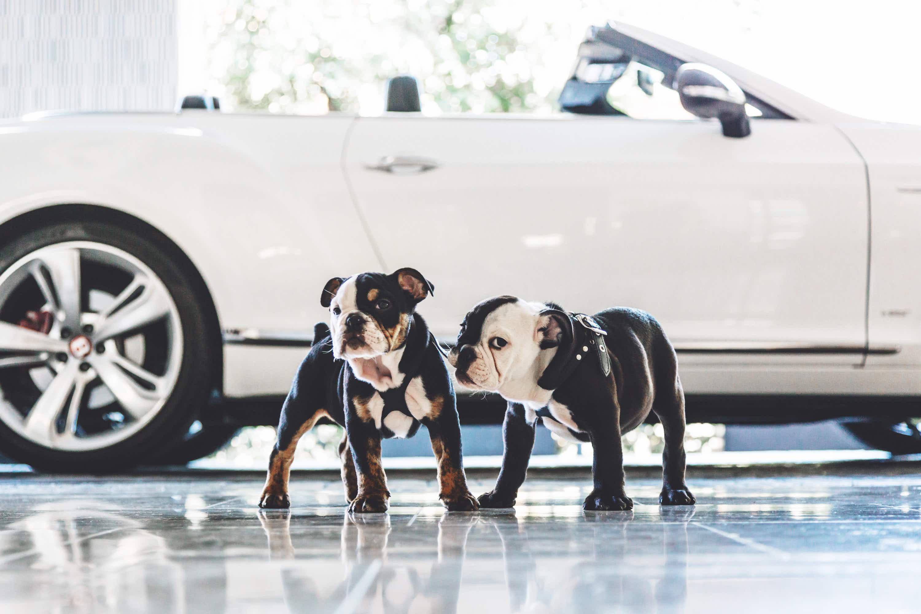 Hang out with these adorable English bulldogs at a California hotel