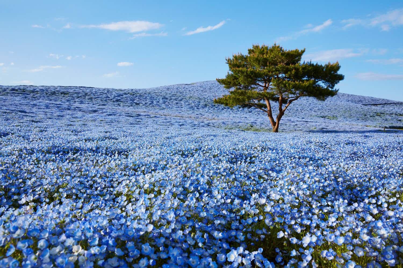 A sea of blue nemophila plants in bloom is luring visitors to Ibaraki in Japan