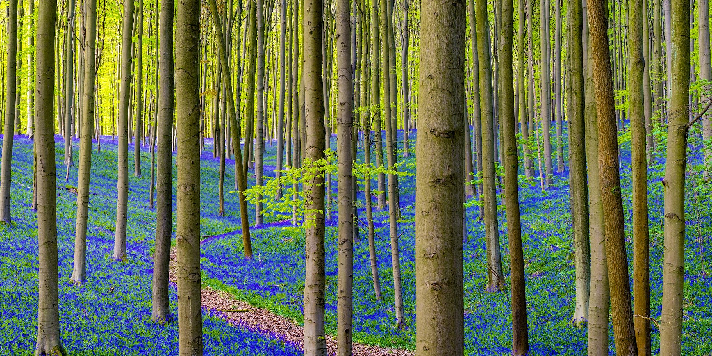 Știri de călătorie - Flori albastre în pădure de fag tare din Hallerbos
