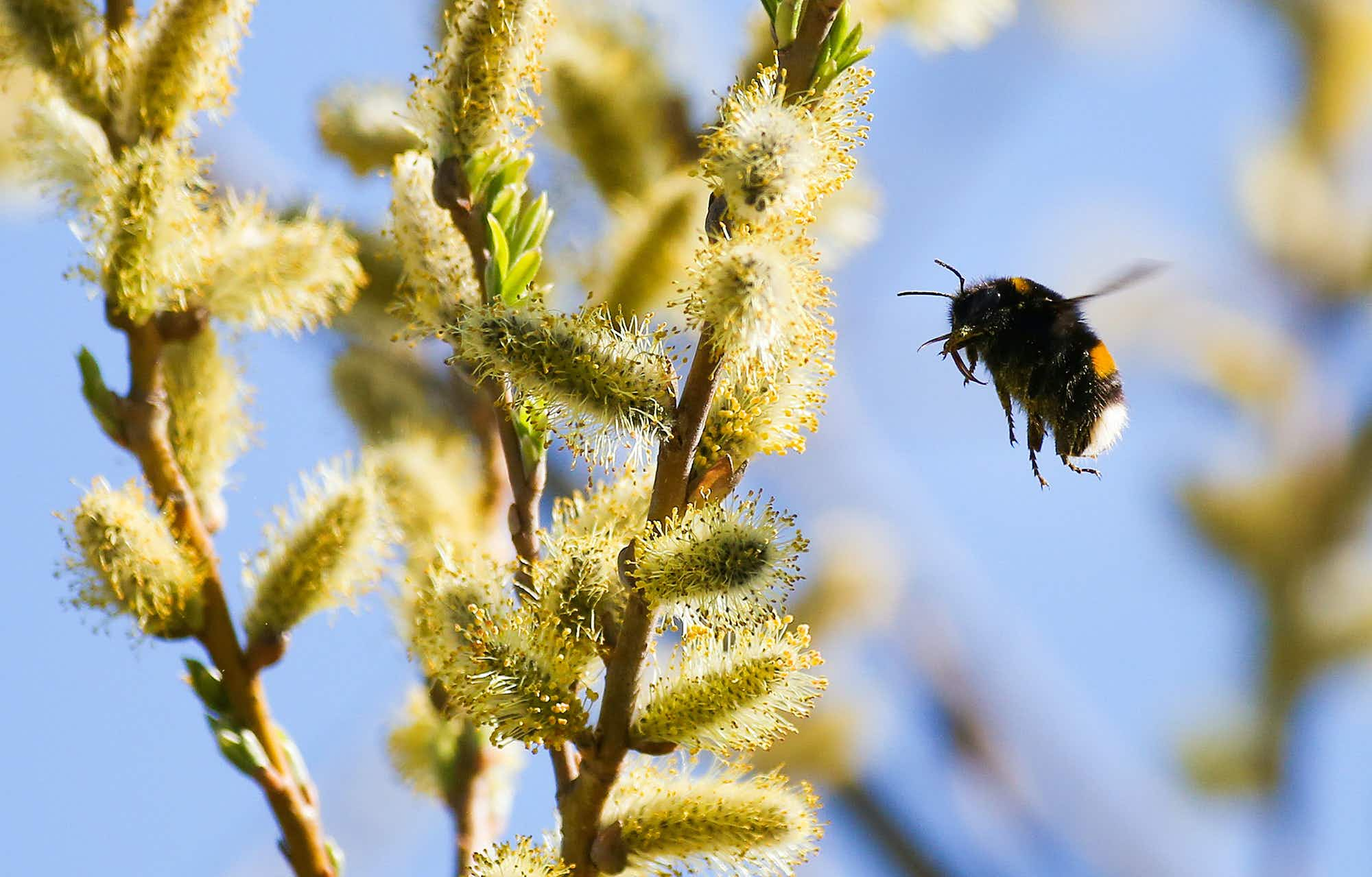 Scientists are using the flight of the bumblebee to cut plane flying times
