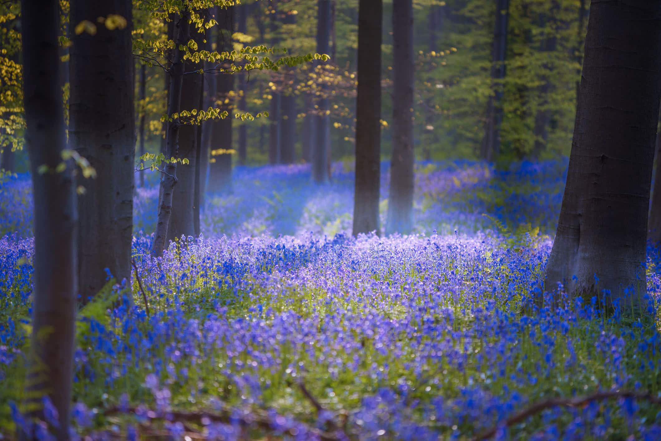 This magical forest in Belgium is covered in blue flowers in spring