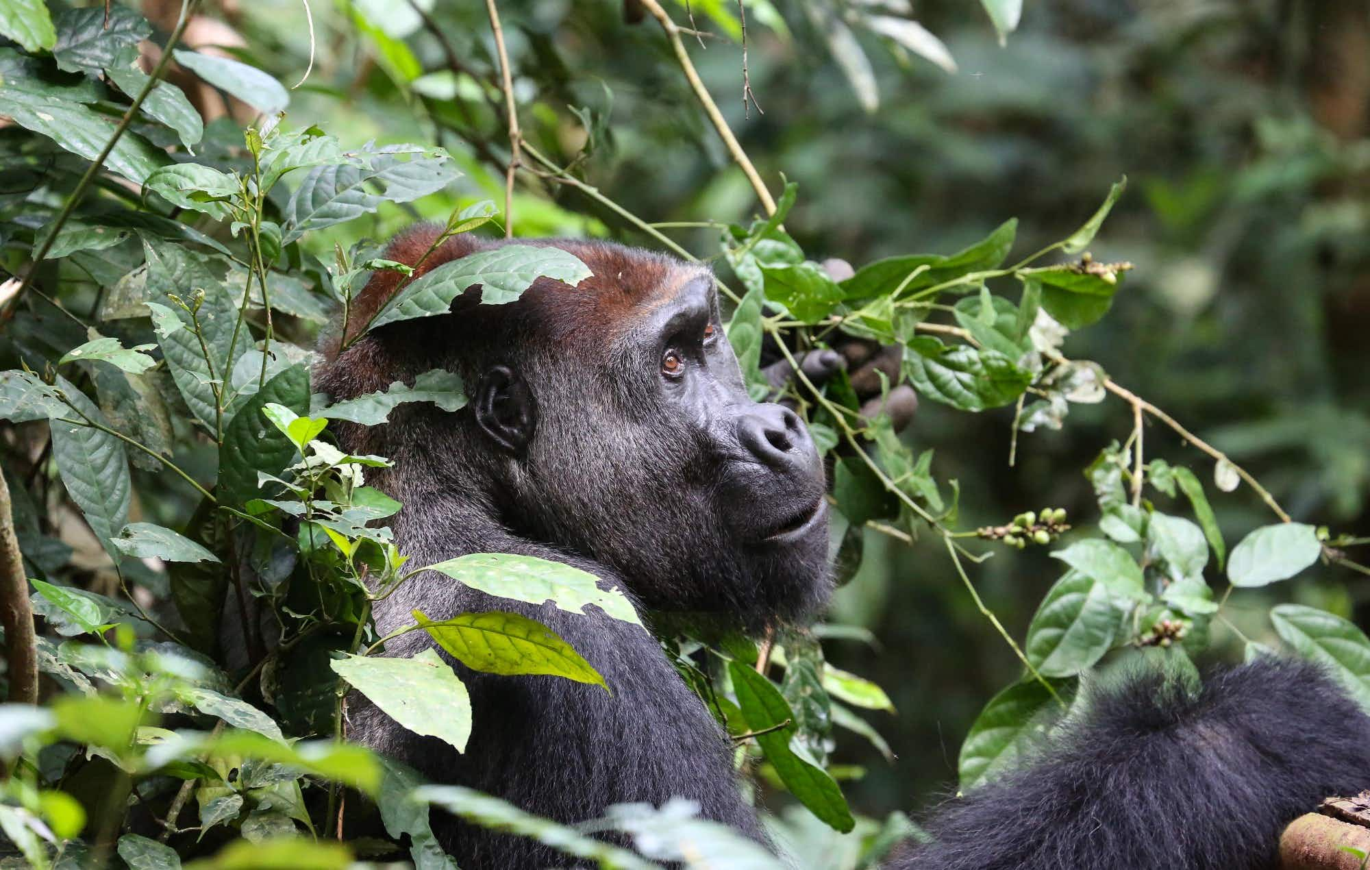 Study reveals good news for the population of gorillas and chimps of West Africa