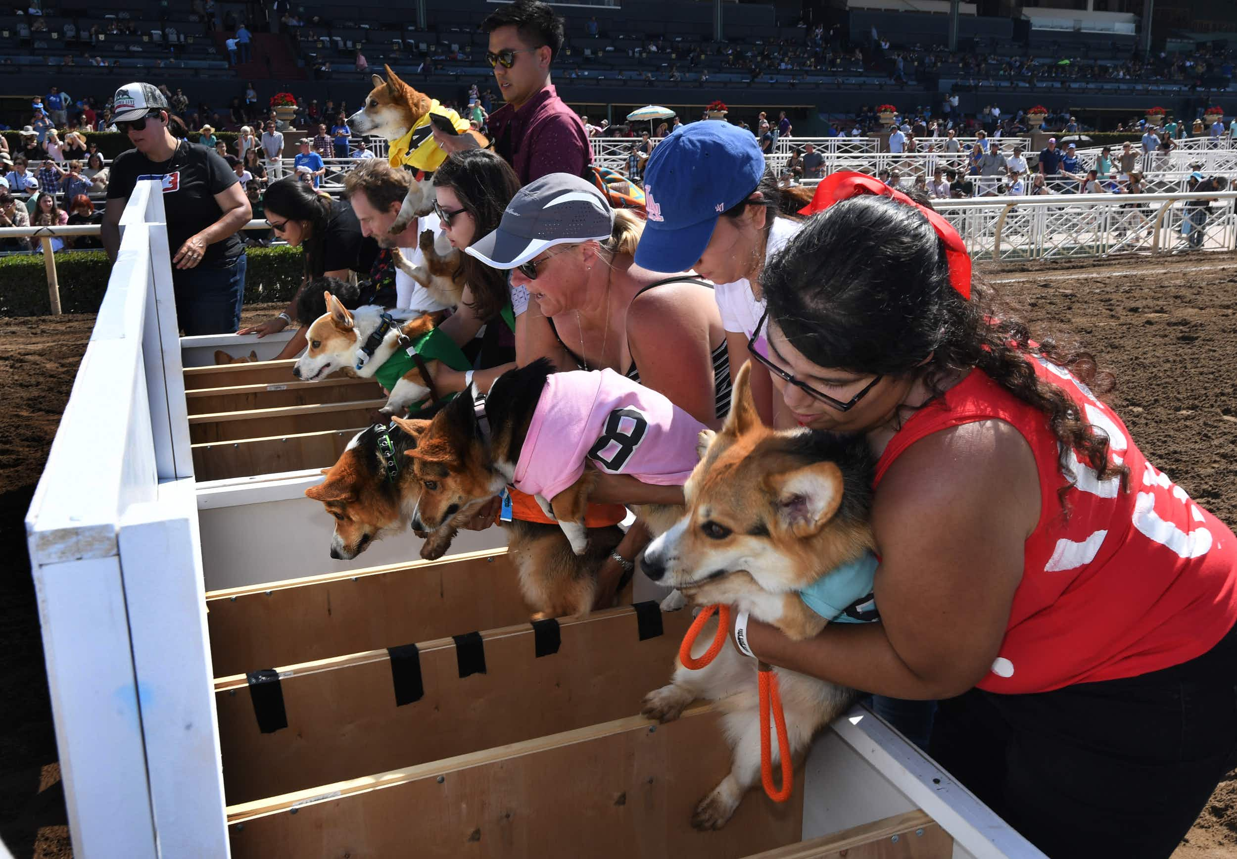 Hundreds of corgis compete for glory in Southern California