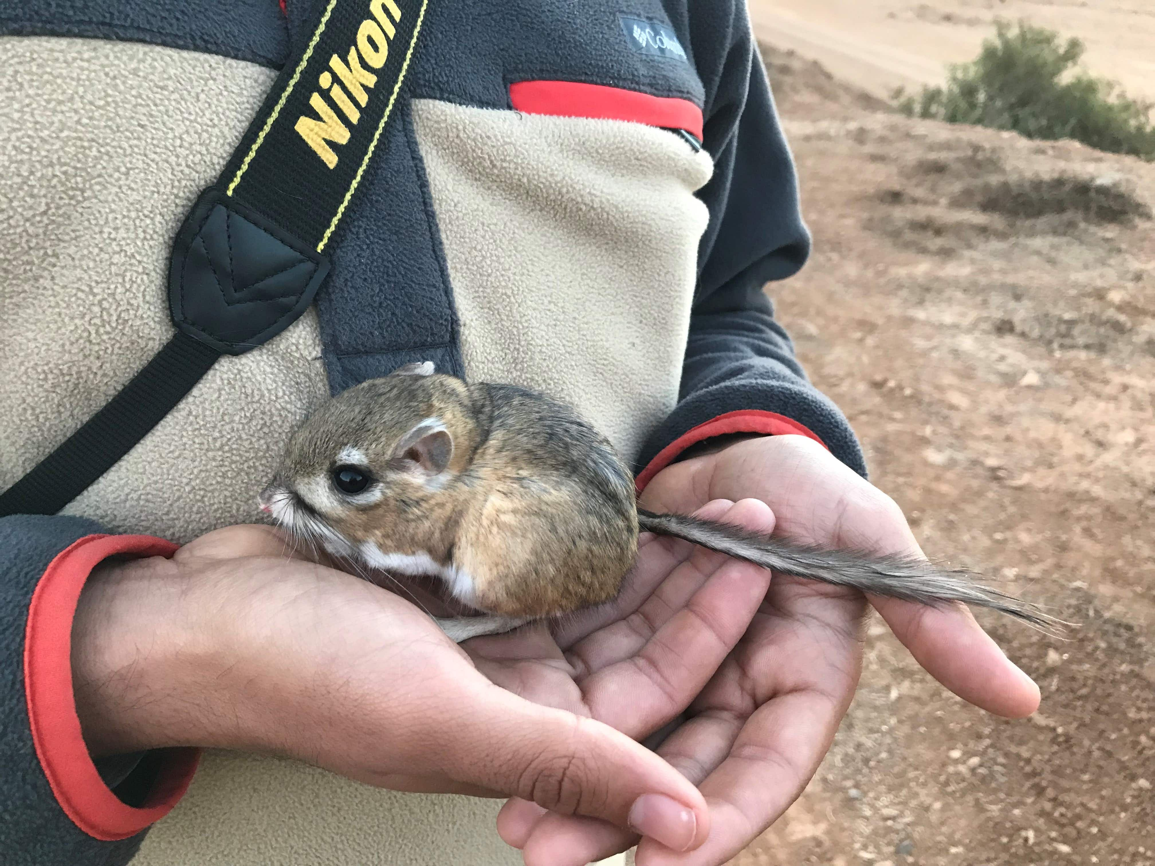The feared extinct Kangaroo Rat discovered alive and well in Mexico