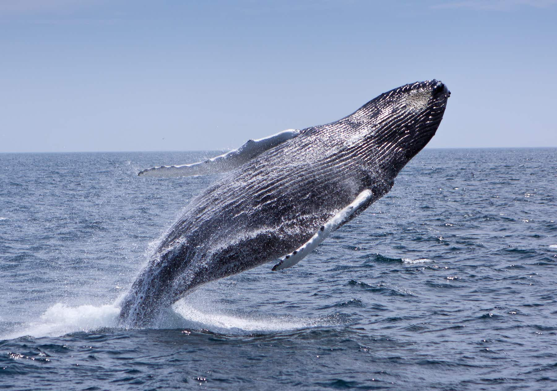 Massachusetts has a new 200 mile whale trail celebrating its maritime history