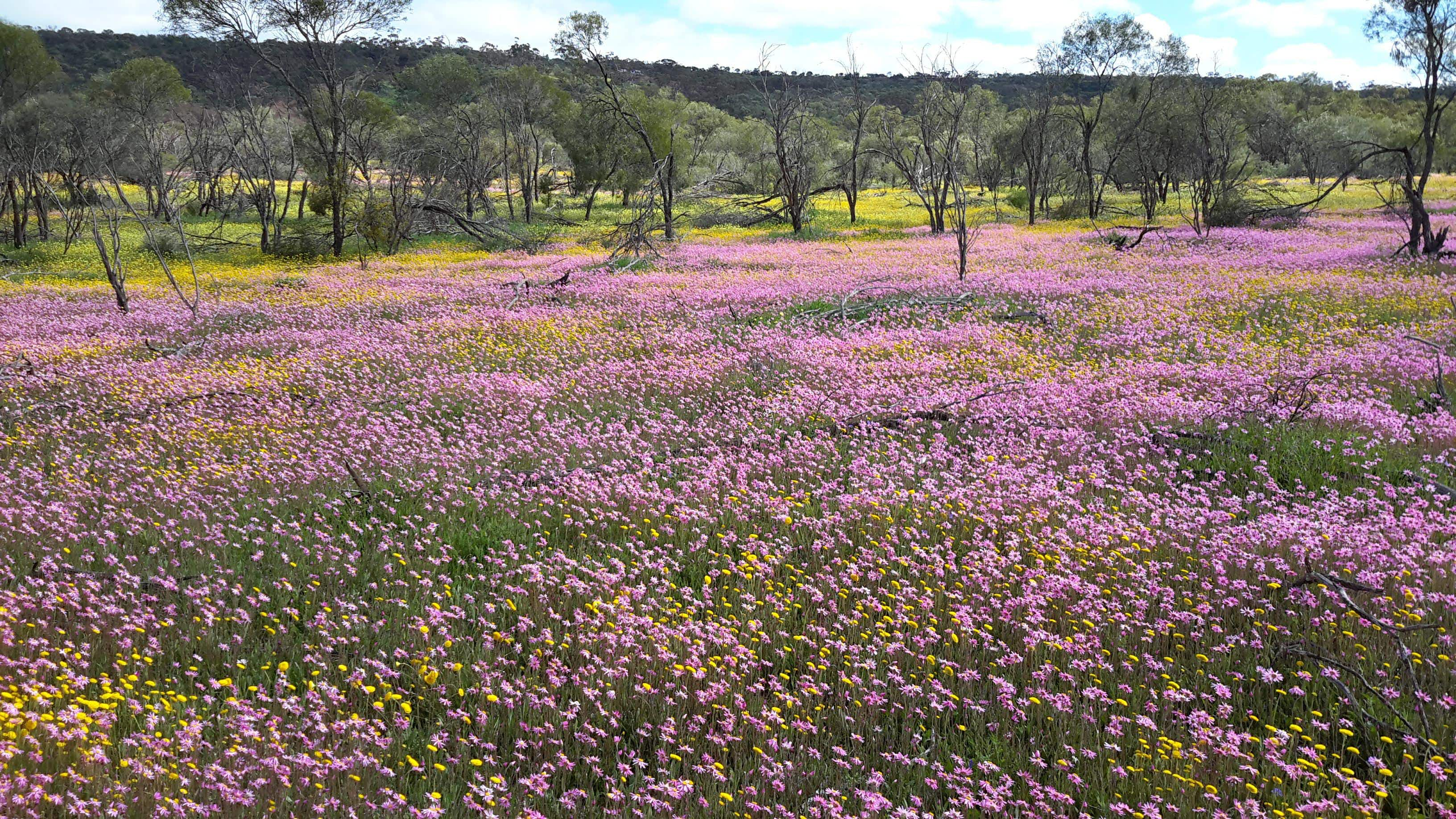 The wildflowers of Western Australia are the best in a decade