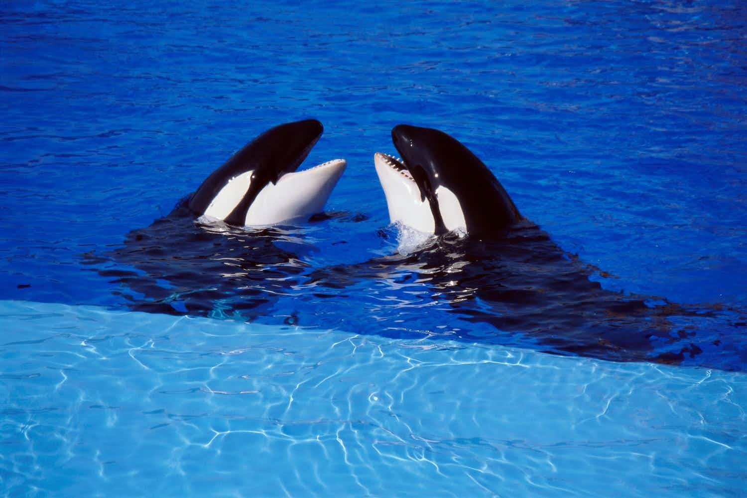 A major tour operator has decided to end trips to amusement parks with captive killer whales