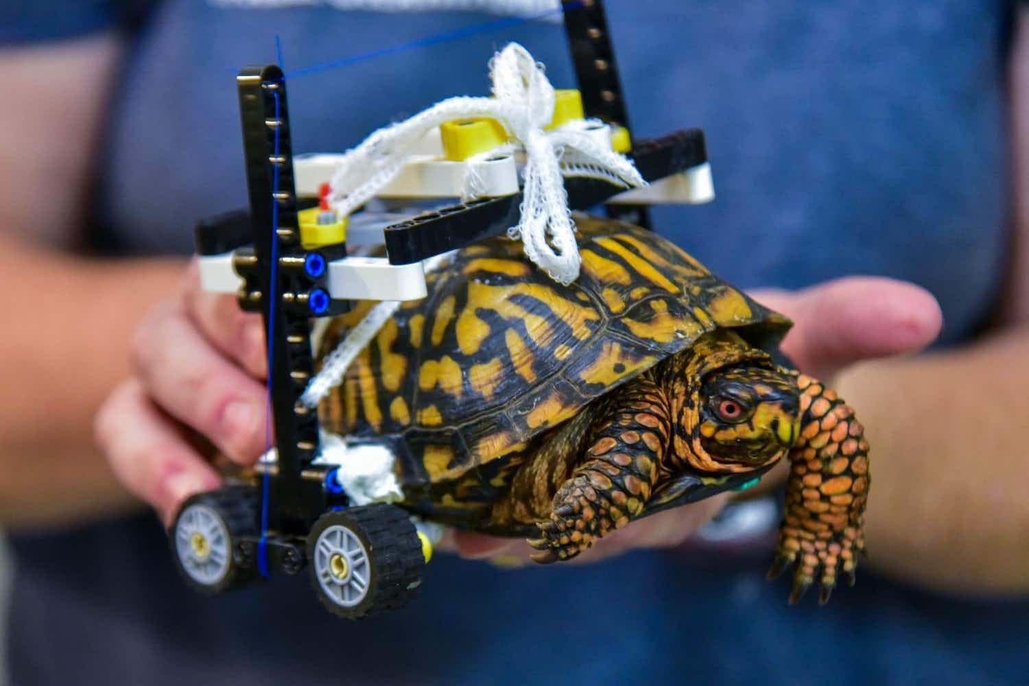 How Lego got an injured wild turtle in Maryland Zoo moving again