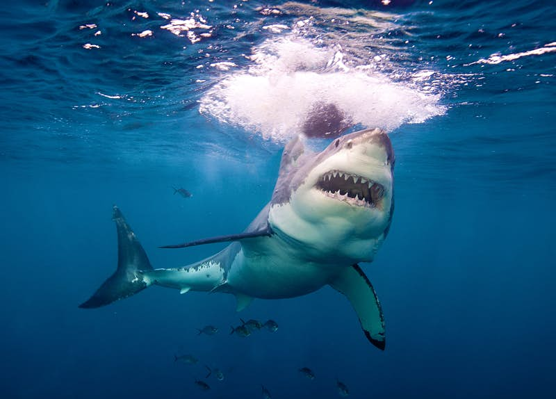 Swimming with sharks may make people less fearful of them