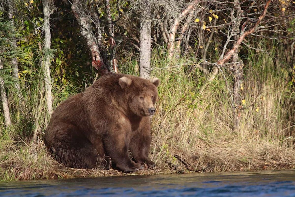 Fat Bear Week: America has voted for its cuddliest bear