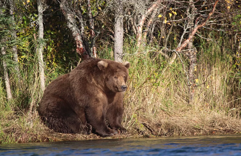 Fat Bear Week: America has voted for its cuddliest bear