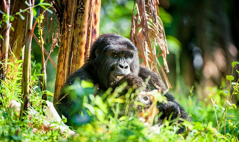 Africa's rare mountain gorillas are coming back from the brink