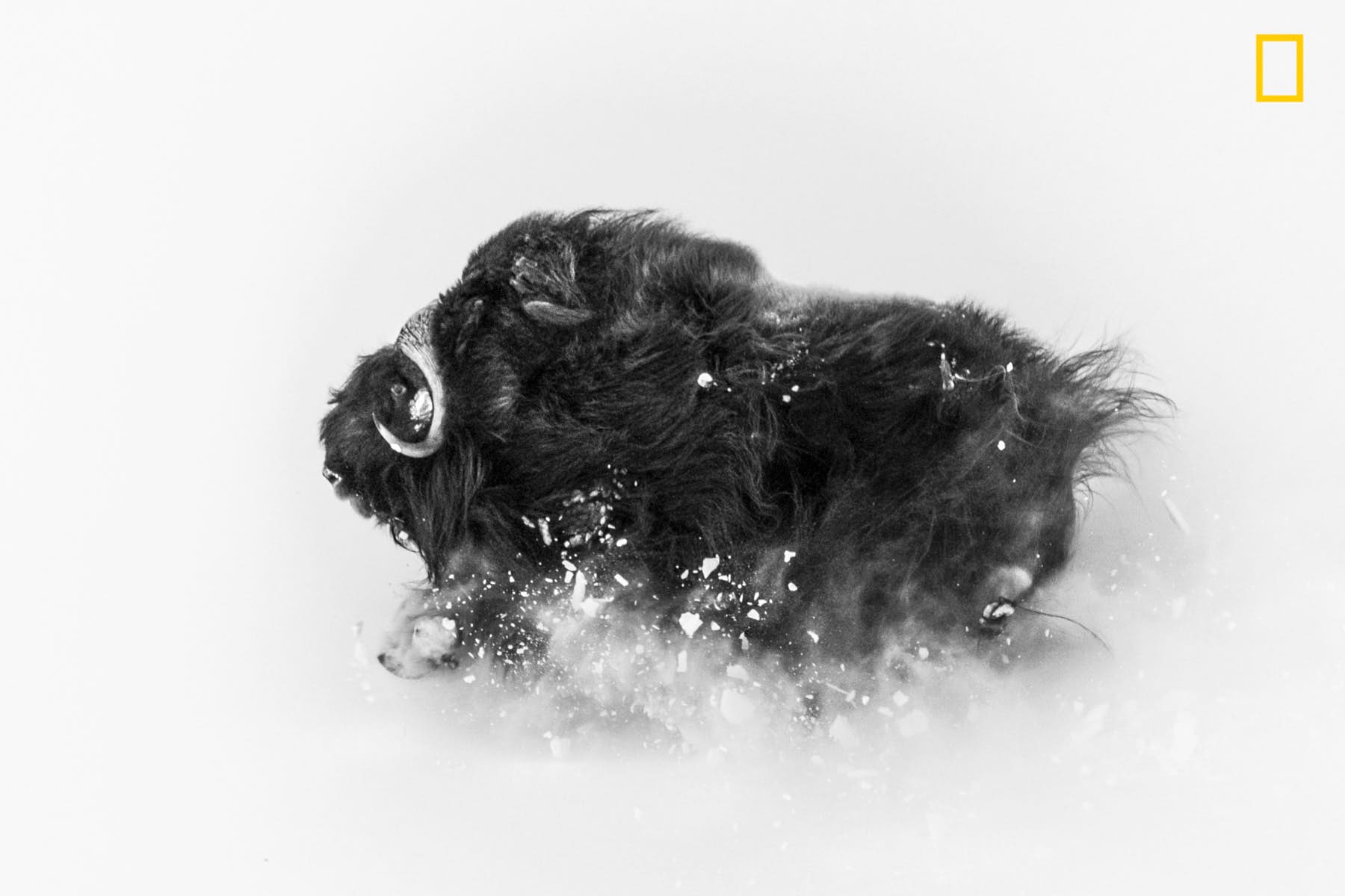 """Jonas Beyer won second place in the Wildlife category with this picture of a musk ox running on a hillside in deep snow. The image was take a few miles from Qaanaaq, in Greenland. """"Musk oxen are extremely tough Arctic survivors,"""" Jonas Beyer said. """"This photo shows their beauty and their power"""". Image courtesy of Jonas Beyer/2018 National Geographic Photo Contest"""
