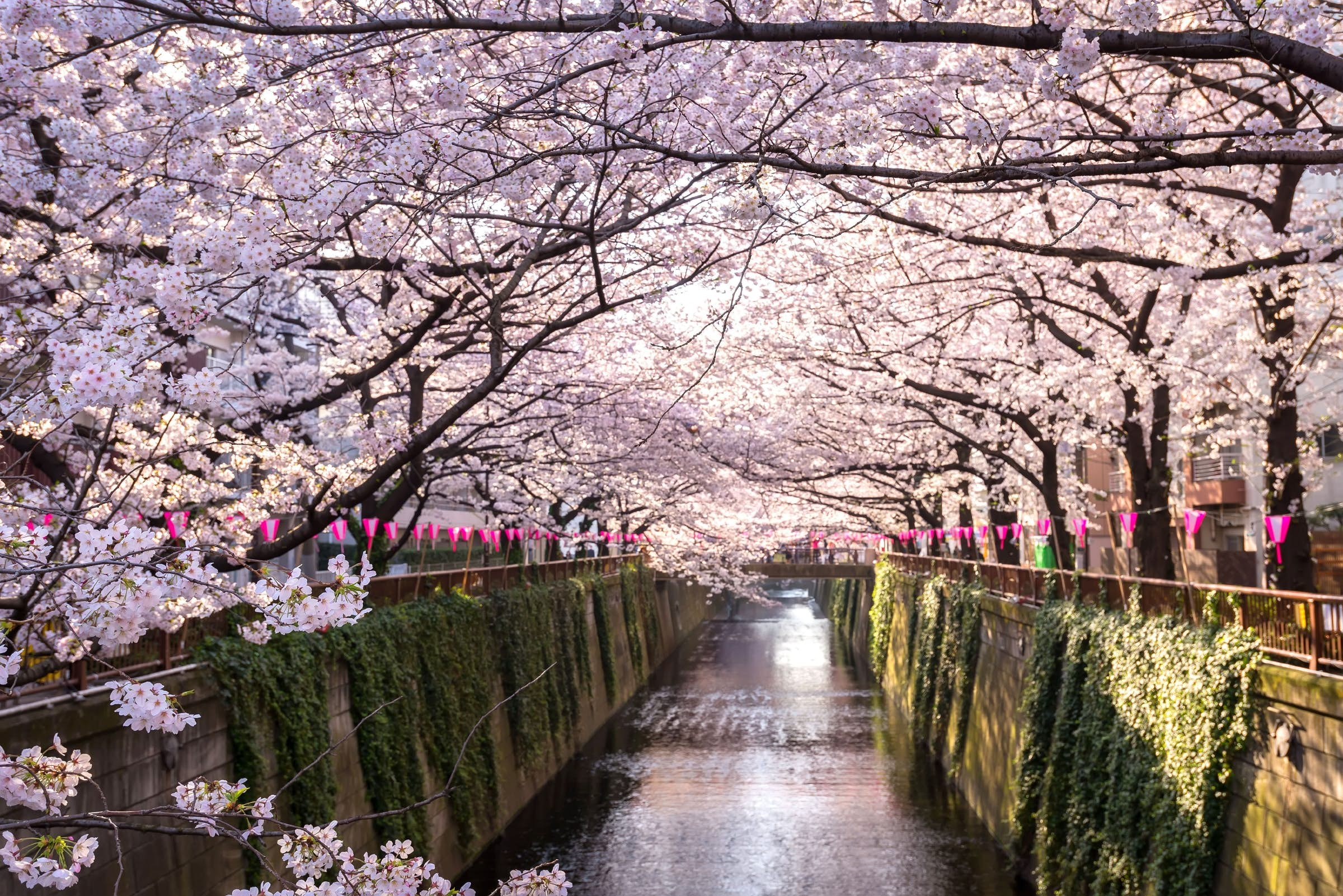 Discover When To See Japan S Cherry Blossoms This Spring Lonely