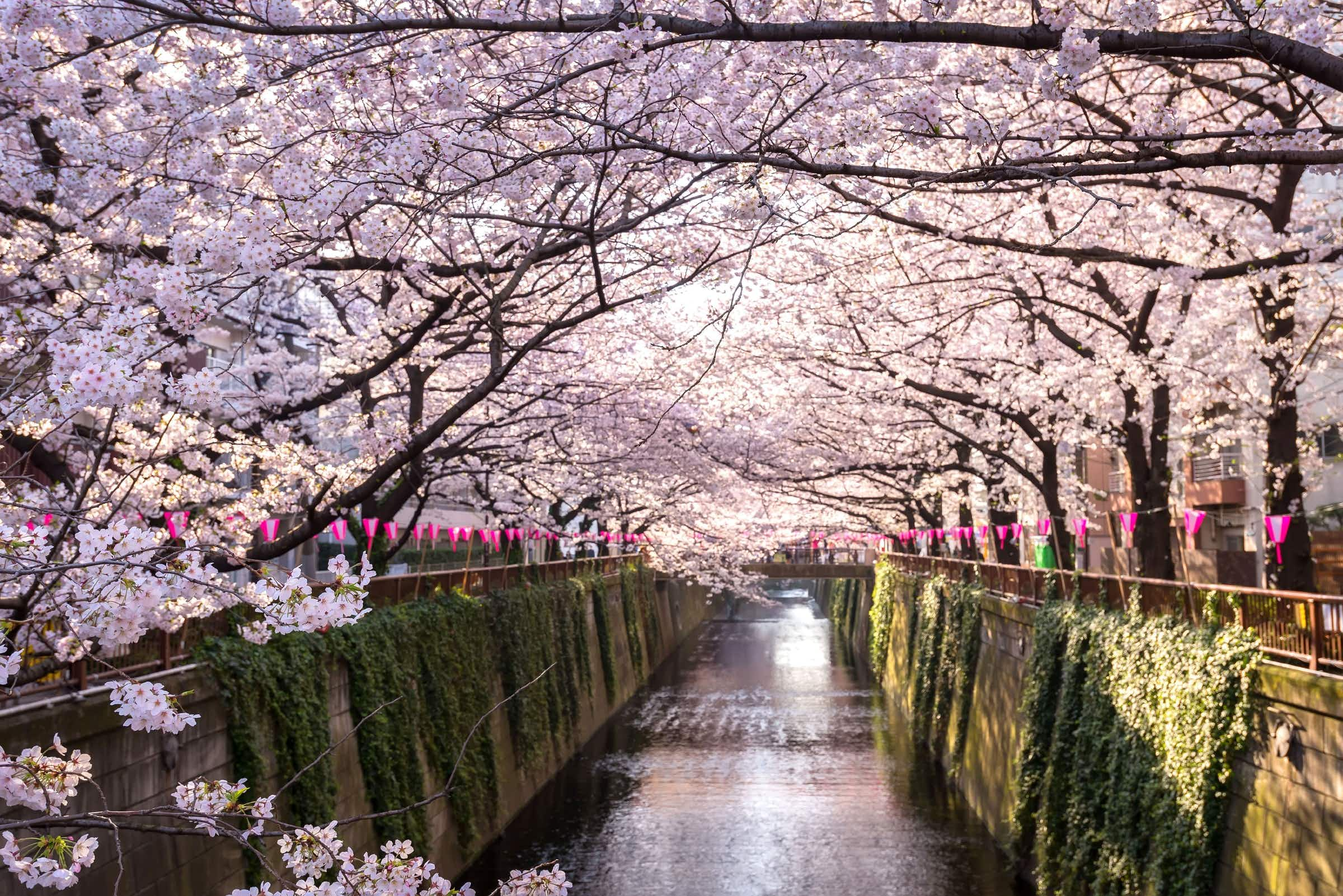 Discover when to see Japan's cherry blossoms this spring