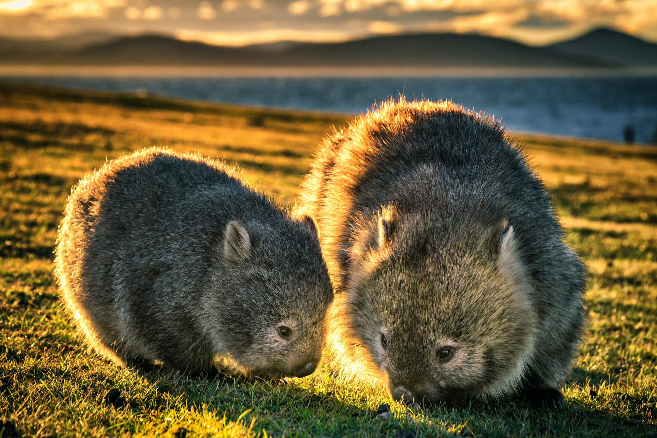 Stop chasing wombats for selfies, urges this Tasmanian island