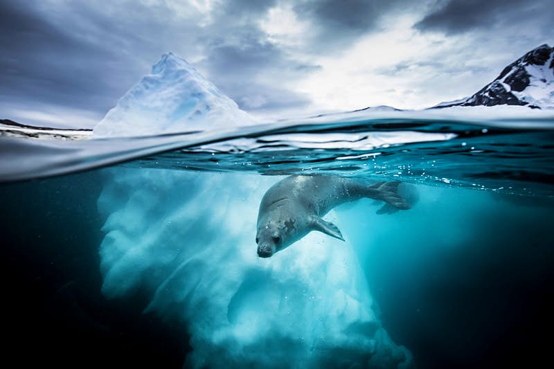 A crabeater seal in Pleneau Bay, Antarctic Peninsula. RUNNER UP - Wide Angle